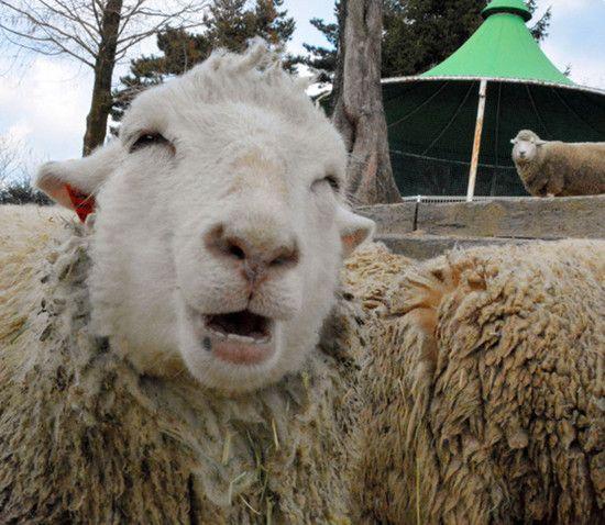 现实版喜羊羊:日本微笑羊走红网络(图)