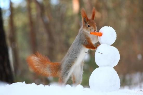 俄罗斯小松鼠堆雪人 用胡萝卜当鼻子 组图