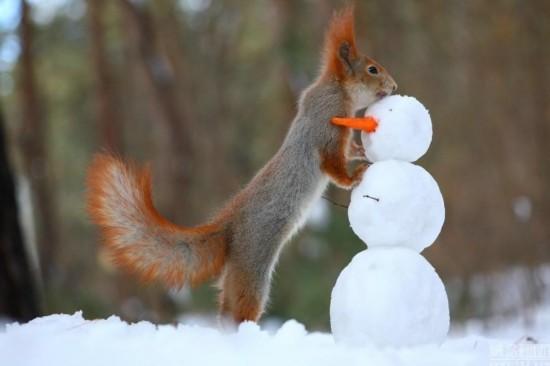 俄羅斯小鬆鼠堆雪人 用胡蘿卜當鼻子(組圖)