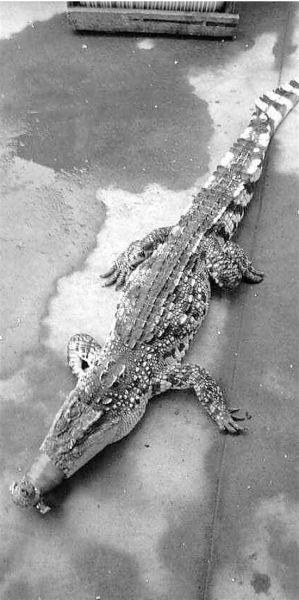 网友拍的鳄鱼