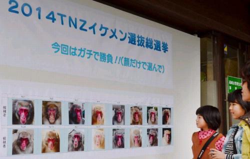 日本动物园猴子选美外貌和猴群地位是评选标准