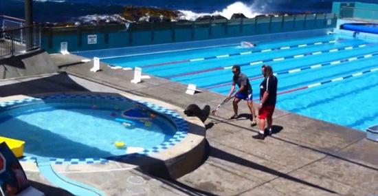 贪玩海狮溜进泳池凑热闹员工被迫清场驱赶(图)
