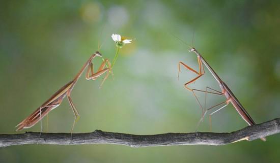 印尼摄影师抓拍螳螂献花求爱场景