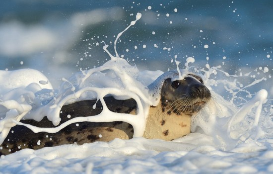 泡泡浴,灰海豹,截图,高清组,网页