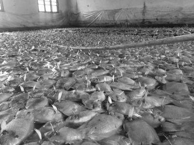 撒药几小时3500条鱼翻白肚 开药者:用药超量