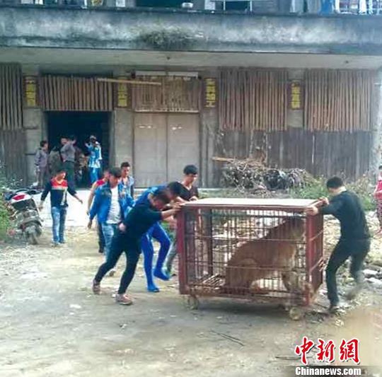 广西陆川:马戏团狮子逃出铁笼警方紧急处置