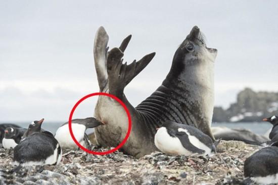 """南极海豹遭企鹅""""袭臀"""" 张嘴惨嚎"""