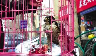 猎隼因饥饿在小区楼顶捕杀信鸽 见人不畏惧(图)