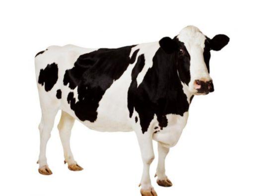 一头奶牛的心事:农业部发文,我就能活了么?
