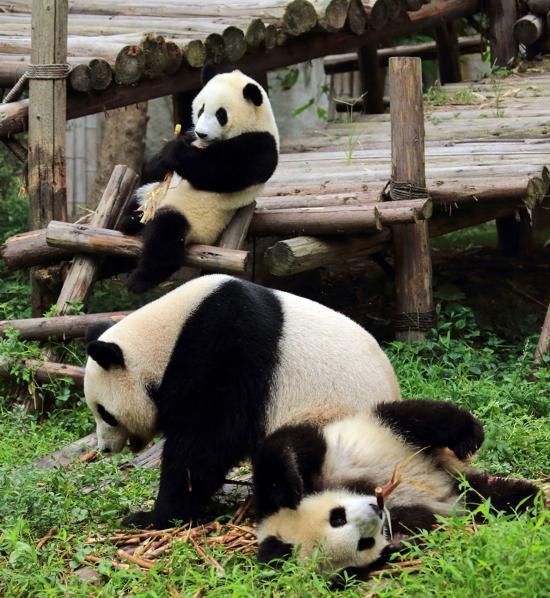 可爱的大熊猫(网络图片)