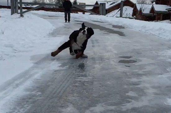 狗狗冰上耍出高难度动作 主人全程记录搞笑瞬间