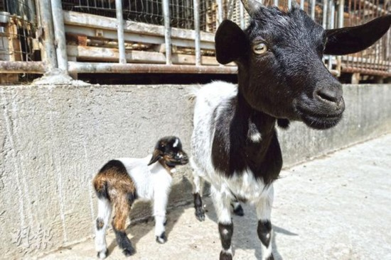 """送马年迎羊年香港牧羊人培养出""""熊猫羊""""(图)"""