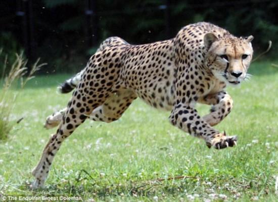 猎豹的奔跑速度虽不比人们之前认为的那样快