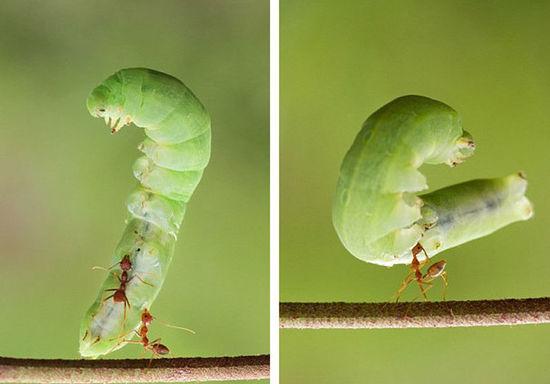 动物界大力士:印尼小蚂蚁轻松举起大毛毛虫(组图)