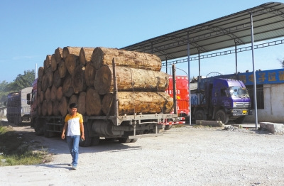 中国人缅北伐木往事:工作环境差交钱保平安(图)