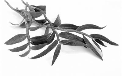 石斛鲜条采摘季 价格冰火两重天-浙产优质品种价格坚挺很受欢迎