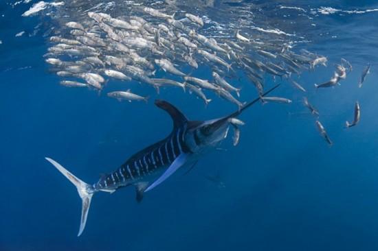「旗魚獵殺」的圖片搜尋結果
