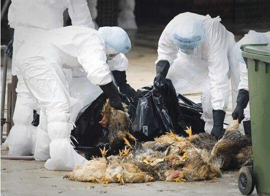 2015年禽流感最新消息:广东省今年患者增至42例