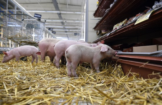 法国猪农带小猪到超市示威抗议猪肉价格大跌(图)