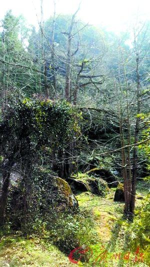 的南雄继坪田之后再一次发现大面积的野生古银杏树聚集群落.   据了