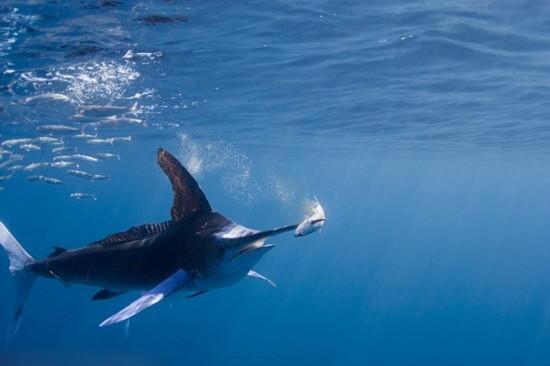 摄影师拍黄旗鱼猎食场面:长吻尖插鱼