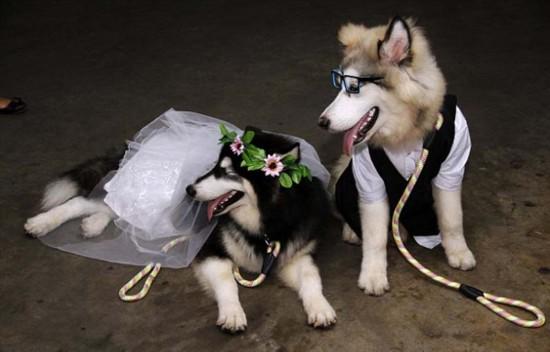 印尼两只宠物狗举行婚礼100多人观礼