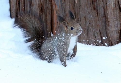 """虾夷栗鼠在雪中""""探险""""天气越冷耳毛越长(图)"""