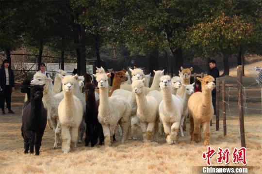 """秘鲁羊驼加盟常州""""神兽""""种群基地"""