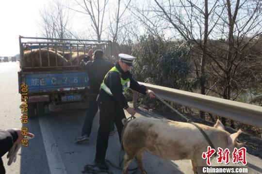 """春运高速公路肥猪""""越狱""""民警当起临时""""猪倌"""""""