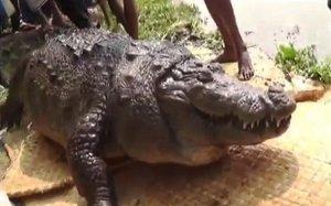 因被祈愿者投喂了太多食物,百岁鳄鱼胖死