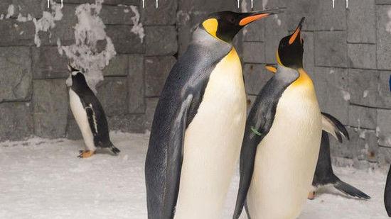 迪拜滑雪场雄性企鹅为情所困求婚后终成眷属