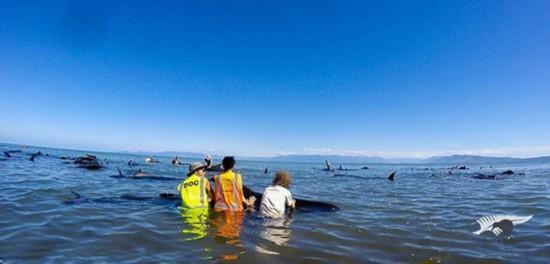 大量鲸新西兰搁浅 揭秘鲸鱼为什么会搁浅