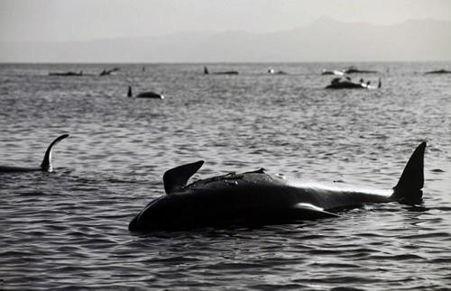 新西兰海滩198头鲸鱼搁浅 已有50头死亡(高清组图)