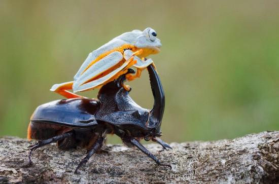 """有趣!树蛙化身""""西部牛仔""""骑""""刚铁""""甲虫背上"""