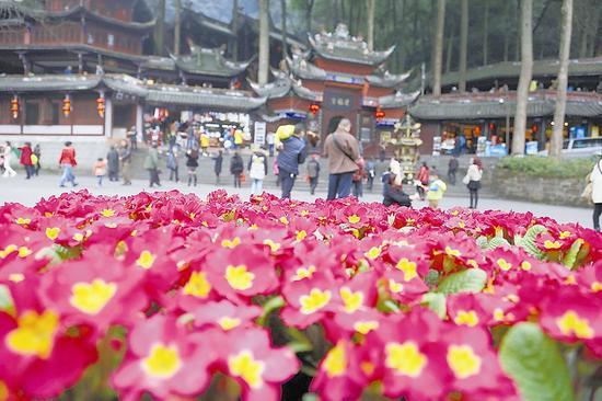 2月19日,青城山景区内鲜花绽放。 四川日报记者 何海洋 摄