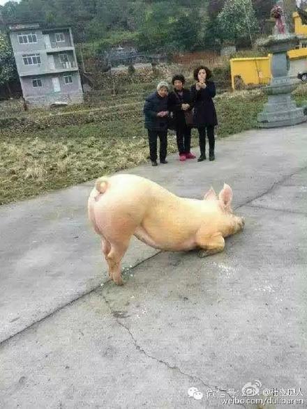 猪一动不动地跪着