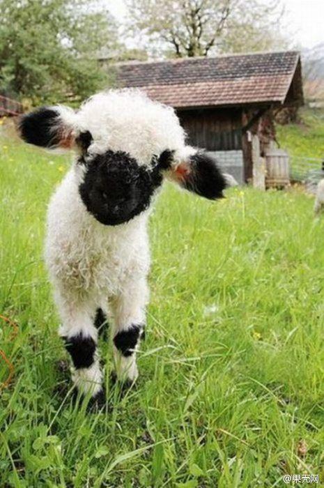 黑鼻羊,羊中最萌 组图