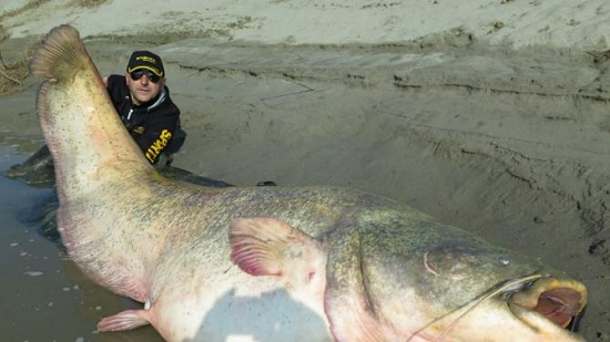 兄弟钓上巨型鲶鱼后放生长近3米重127公斤(图)