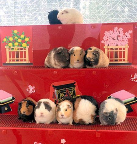 日本公园迎女孩节激萌豚鼠化身人偶排排坐(图)