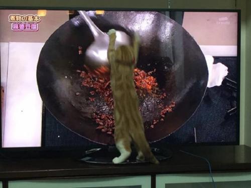 猫咪看美食节目馋心大动爪子挥动似炒菜(图)