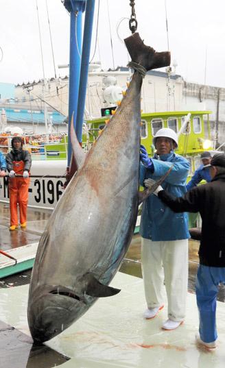 日本和歌山捕获614斤金枪鱼系2015年最重(图)