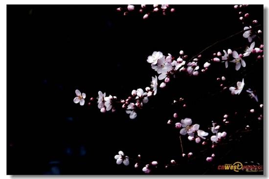 西安丰庆公园的山桃花开了 可爱深红映浅红