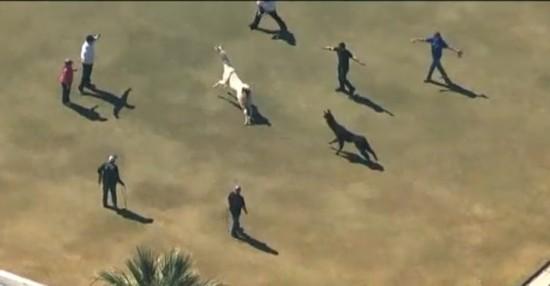 美国两只驼羊镇上狂奔 电视台航拍直播警察围捕(图)【8】
