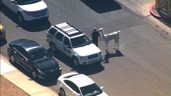 美国两只驼羊镇上狂奔 电视台航拍直播警察围捕(图)【2】
