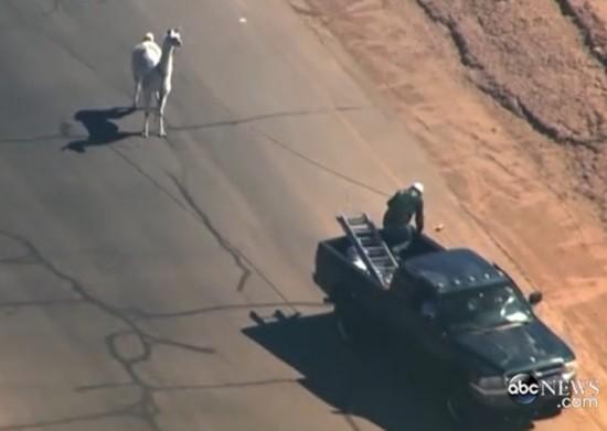 美国两只驼羊镇上狂奔 电视台航拍直播警察围捕(图)【10】