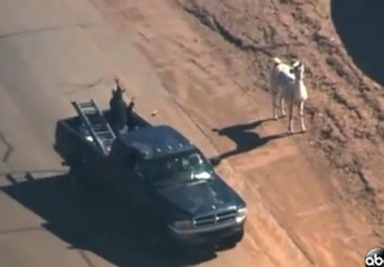 美国两只驼羊镇上狂奔 电视台航拍直播警察围捕(图)【9】