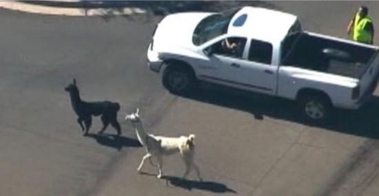 美国两只驼羊镇上狂奔 电视台航拍直播警察围捕(图)【6】
