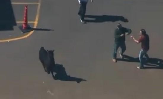 美国两只驼羊镇上狂奔 电视台航拍直播警察围捕(图)【7】