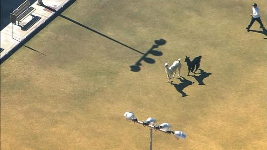 美国两只驼羊镇上狂奔 电视台航拍直播警察围捕(图)