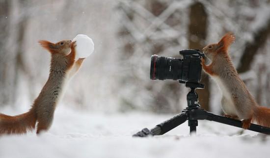 """红松鼠变身""""摄影师"""" 拍同伴玩雪球照片"""